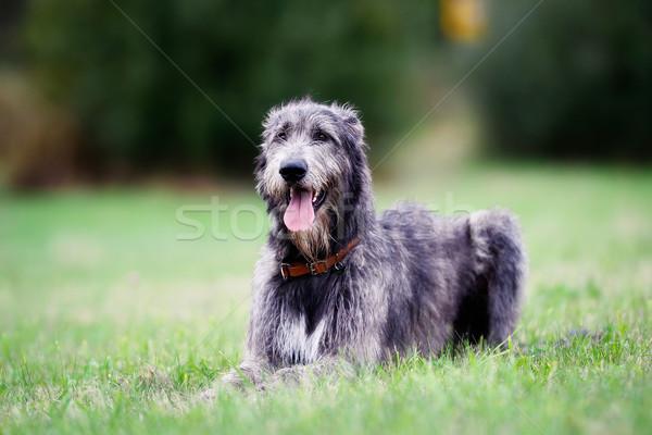 Sitting scottish wolfhound Stock photo © bigandt