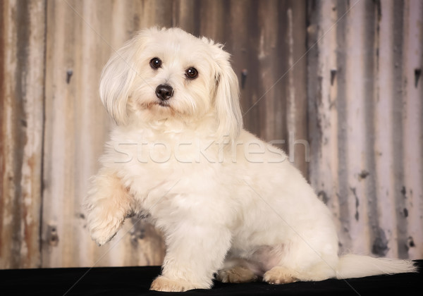 Stock photo: Coton de Tulear dog