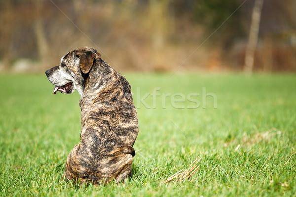 итальянский дог собака тростник природы Сток-фото © bigandt