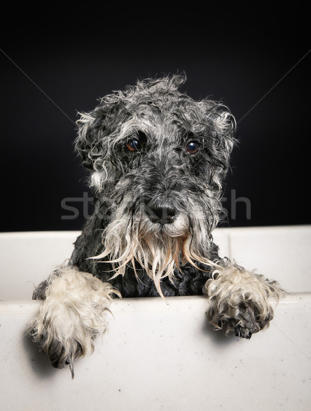 Schnauzer dog in bathtub Stock photo © bigandt
