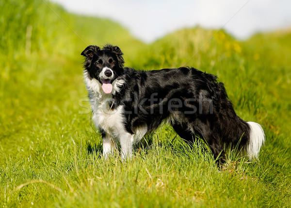 Бордер колли выстрел чистокровных собак за пределами Солнечный Сток-фото © bigandt