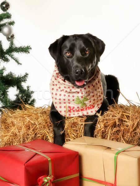 Noel Labrador köpek siyah yukarı beyaz Stok fotoğraf © bigandt