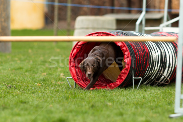 Brown labrador at agility course Stock photo © bigandt
