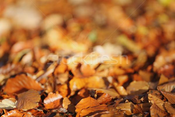 Barna levelek föld boglya ősz Stock fotó © bigandt