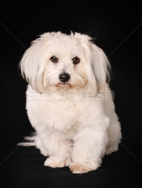 Coton de Tulear dog Stock photo © bigandt