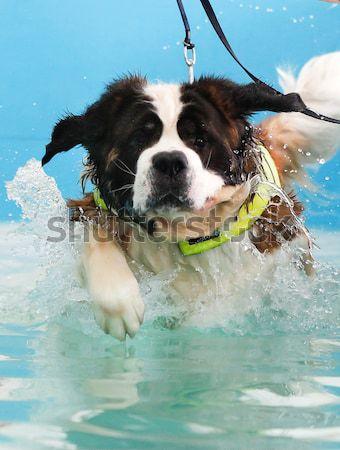 Cão nadar enorme piscina Foto stock © bigandt