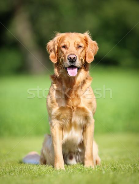 Golden retriever cão ao ar livre ensolarado verão Foto stock © bigandt