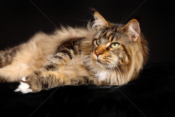Fajtiszta macska lövés házimacska fekete stúdió Stock fotó © bigandt