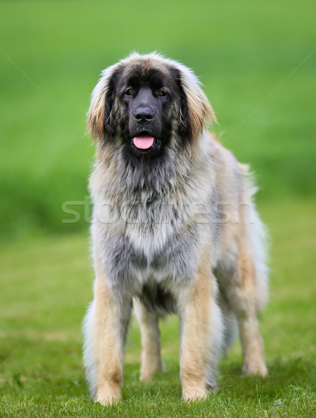 Purebred Leonberger dog Stock photo © bigandt