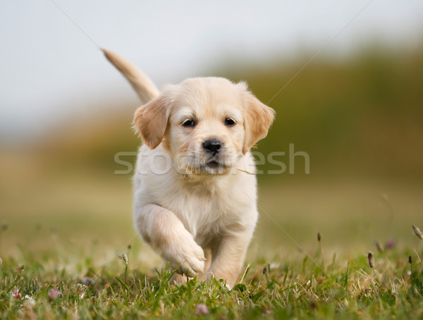Golden retriever puppy running towards camera Stock photo © bigandt