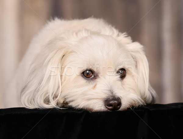 Coton de Tulear dog Stock photo © bigandt