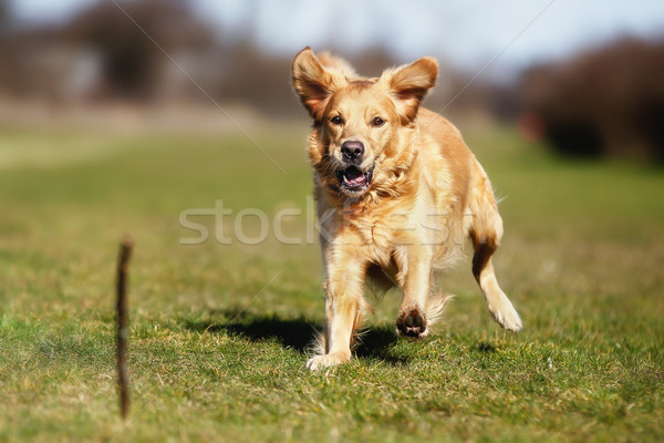 Dog playing with a stick Stock photo © bigandt