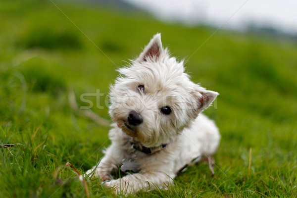 Little white dog tilting its head Stock photo © bigandt