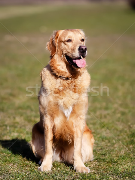 Purebred dog looking to the right Stock photo © bigandt