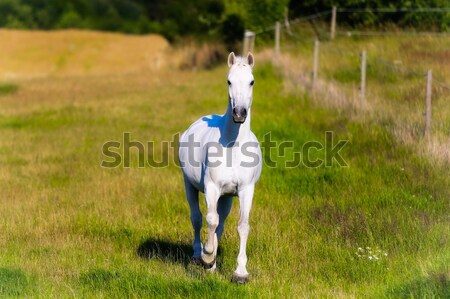 Beautiful White Horse Strolling Stock photo © bigandt