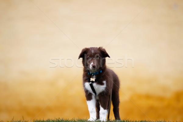 Rosolare border collie cucciolo minuscolo cute Foto d'archivio © bigandt