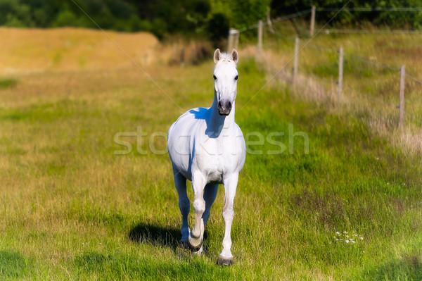 Fehér ló fehér fut körül fű legelő Stock fotó © bigandt