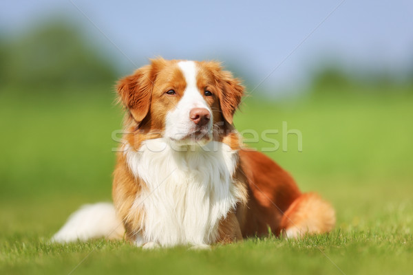 Nova Scotia Duck Tolling Retriever dog Stock photo © bigandt