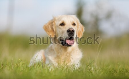 Yellow labrador Stock photo © bigandt