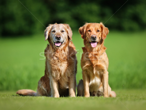 Stock photo: Two golden retriever dogs