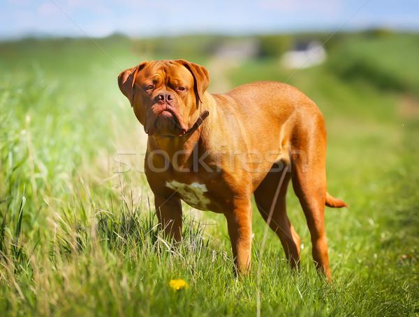 дог чистокровных собак улице Солнечный лет Сток-фото © bigandt