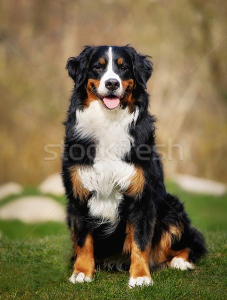 Berneński pies pasterski na zewnątrz psa zwierząt stałego Zdjęcia stock © bigandt