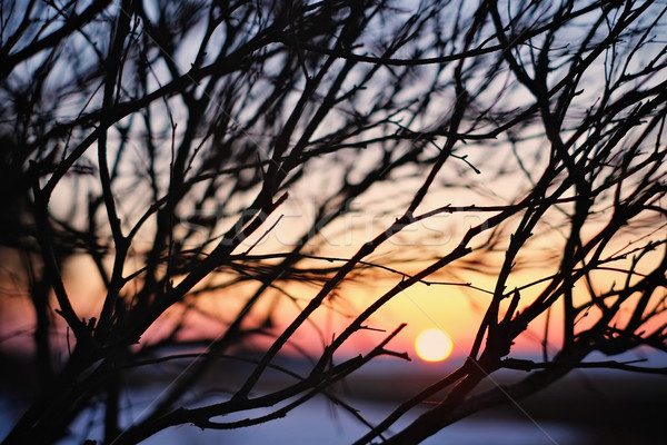 Sunset and branches Stock photo © bigandt