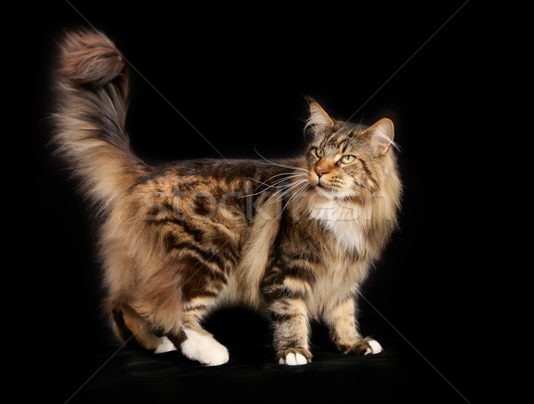 Gato tiro gato doméstico negro hermosa Foto stock © bigandt