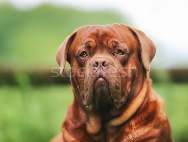 Stock fotó: Arc · barna · Bordeau · felnőtt · fajtiszta · kutya · kint