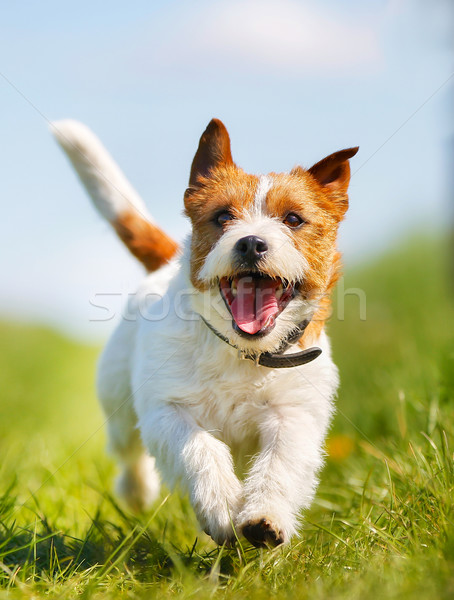 Jack Russell Terrier dog Stock photo © bigandt