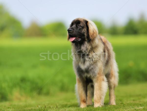 Hond mooie buitenshuis zonnige zomer Stockfoto © bigandt
