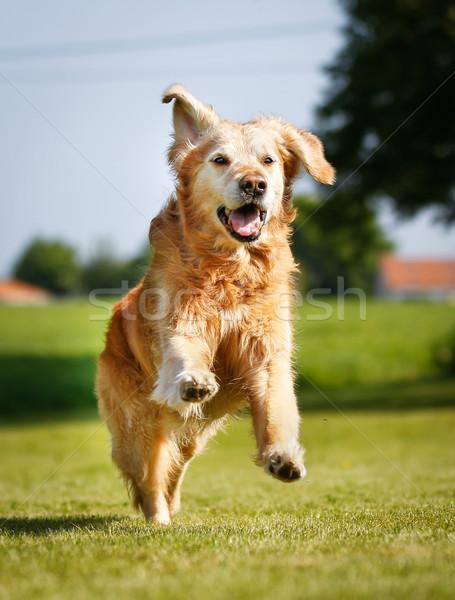 Golden retriever hond buitenshuis zonnige zomer Stockfoto © bigandt