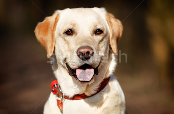 Face of pedigree dog Stock photo © bigandt