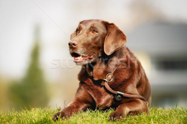 Barna labrador retriever kívül fű tavasz idő Stock fotó © bigandt