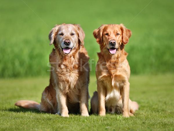 Twee golden retriever honden buitenshuis zonnige Stockfoto © bigandt