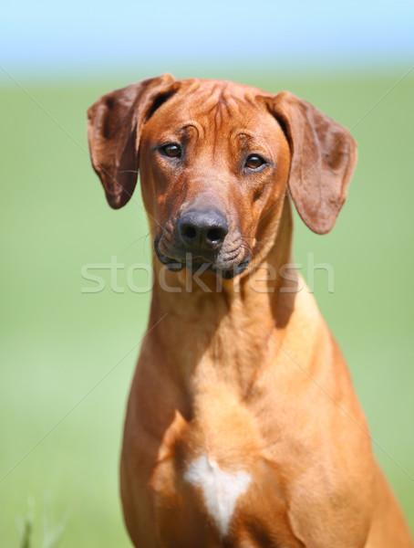 Kutya arc nyár állat ül díszállat Stock fotó © bigandt