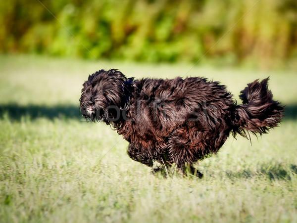 Running dog Stock photo © bigandt
