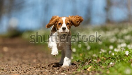 Purebred golden retriever Stock photo © bigandt