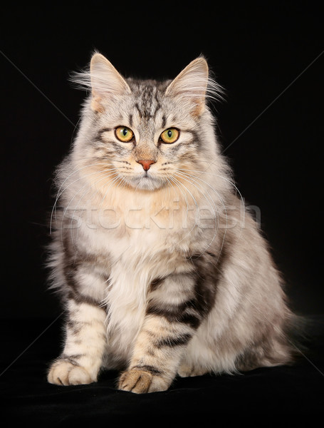 Kurilian bobtail cat Stock photo © bigandt