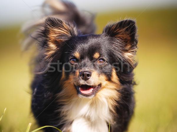 Close-up of chihuahua Stock photo © bigandt