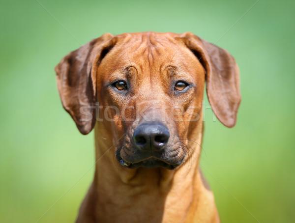 Stock fotó: Kutya · fajtiszta · kutya · kint · napos · nyár · nap