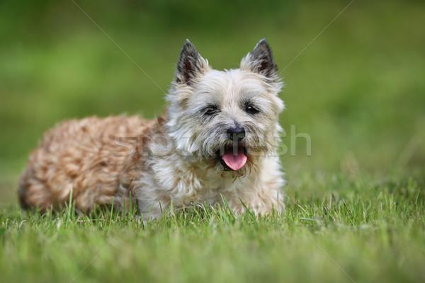 свет коричневый терьер собака взрослый чистокровных собак Сток-фото © bigandt