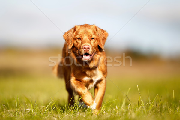 Nova scotia duck tolling retriever Stock photo © bigandt