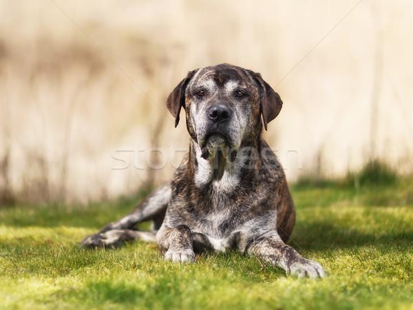 Italian mastiff Stock photo © bigandt