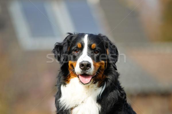 Berneński pies pasterski na zewnątrz psa zwierząt domowych Zdjęcia stock © bigandt