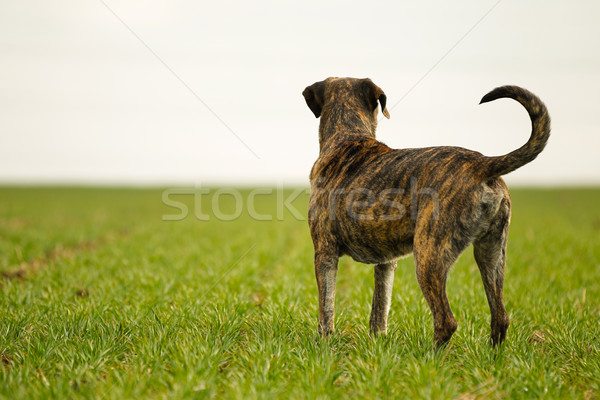 Italian mastiff Stock photo © bigandt