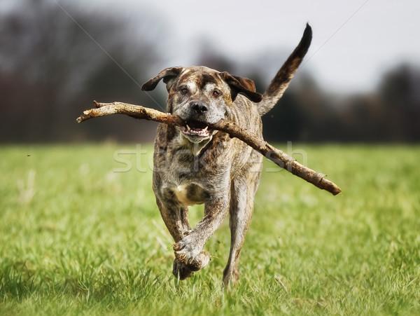 итальянский дог собака тростник весны Сток-фото © bigandt