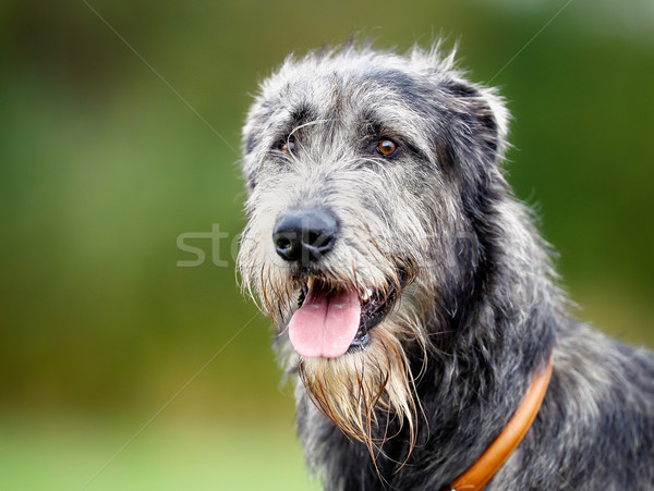 Scottish wolfhound Stock photo © bigandt