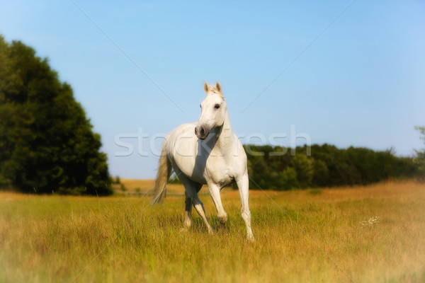 Front of Beautiful White Horse Stock photo © bigandt