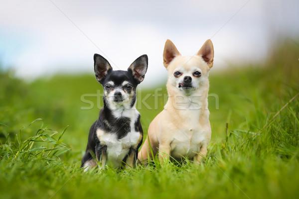 Fajtiszta kutyák lövés kívül napos nyár Stock fotó © bigandt